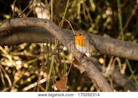 European robin (redbreast) standing on a tree branch