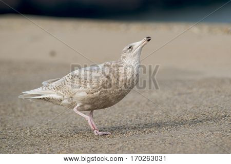 Glaucous Gull (Larus hyperboreus) in 3rd Winter Plumage in Begging Pose on a Pier in a Harbour