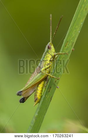 Large Golden Grasshopper (Chrysochraon dispar) male resting on a Grass-Stalk