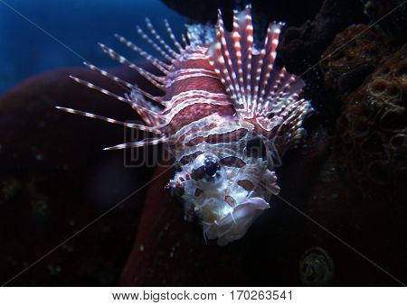 Colorful Lionfish (Pterois) in the water closeup