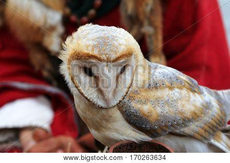 Barn owl (Tyto alba) closeup portrait v