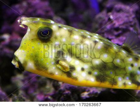 Longhorn cowfish or Horned boxfish (Lactoria cornuta)