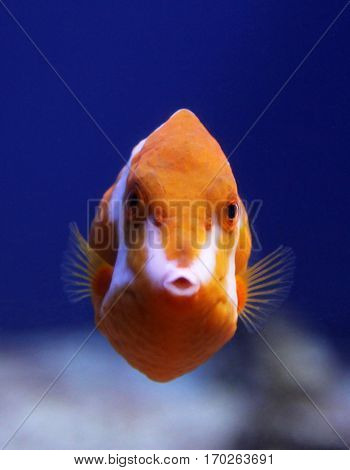Flame or White Barred boxfish (Anoplocapros lenticularis)