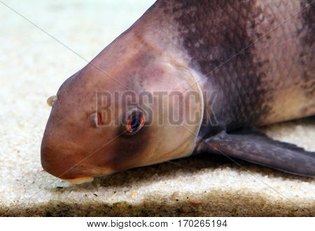 Chinese Sucker Or High-fin Banded Shark (myxocyprinus Asiaticus) - Endemic Of Yangtze River Basin, C