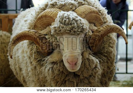 Portrait of white ram (Groznenskaya breed) c