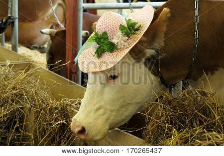 Simmental Cow In A Funny Heat At An Agricultural Show
