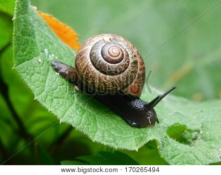 Black snail crawling on the green leaf