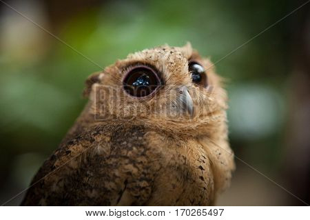 Owlet with big eyes looks very cute