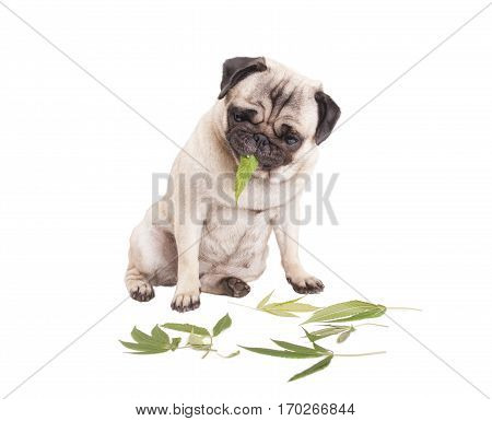cute pug puppy dog sitting down and eating weed leaves Cannabis sativa isolated on white background.
