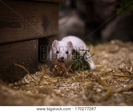 Cute white weasel at small home zoo.