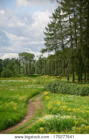 Landscape with a road across a field field flowers and larch trees