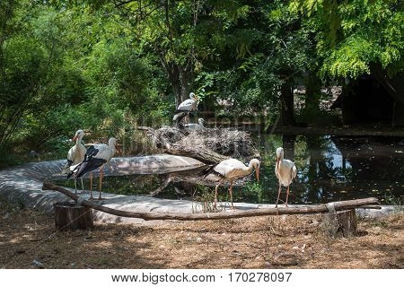 White storks family near a pond. Large, long-legged, long-necked wading bird with long, stout bills. Family Ciconiidae.
