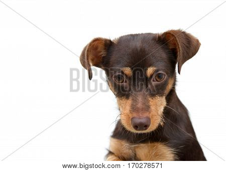 Portrait of one small light and dark brown puppy looking directly at viewer with sad eyes. White background