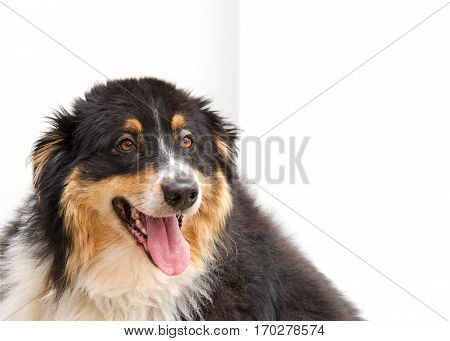 Portrait of a large heavy grossly obese overweight black brown and white collie dog looking to viewers right mouth open with tongue hanging out panting out of breath. White fence background