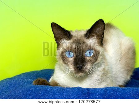 Siamese kitten with bright blue eyes laying on a dark blue blanket with bright green background looking directly at viewer