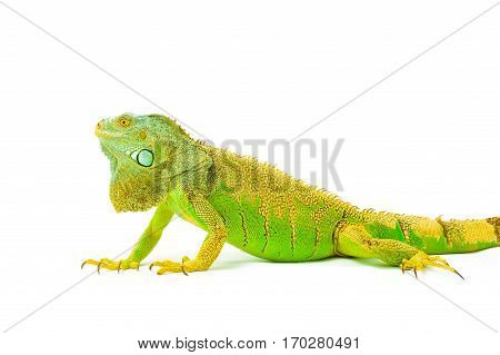 one green iguana lizard .reptile sit on white background
