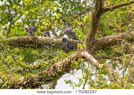 Gang of Pigeon, Rock Dove birds grouping on tree branch in Singapore, Asia. Soft focus