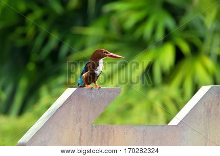 White throated Kingfisher bird standing on arrow sign with blurred green background. Also called White-breasted OR Smyrna kingfisher (Halcyon smyrnensis)