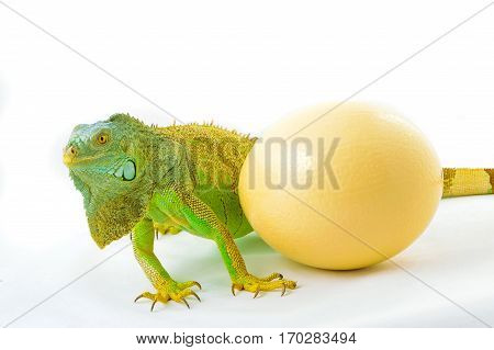 one green iguana lizard .whith ostrich egg .reptile sit on white background