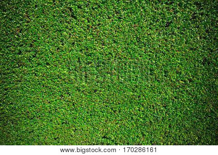 Green hedge texture background