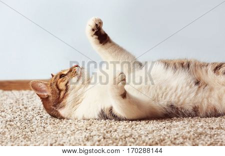 Cute funny cat playing while lying on carpet at home