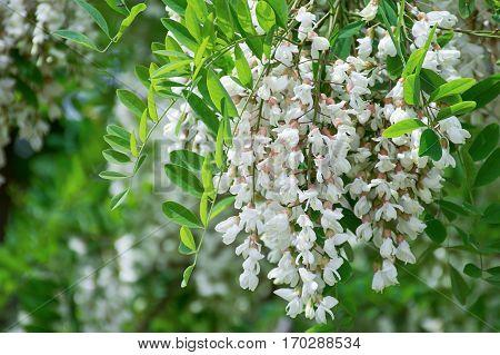 White Robinia pseudoacacia False acacia Black locust