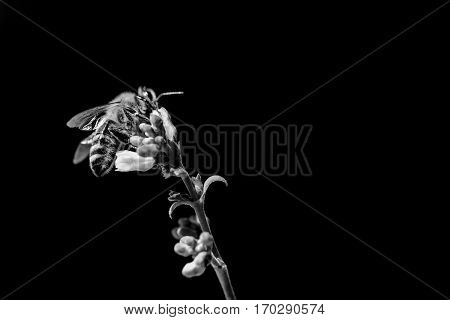 Honey bee disease awareness because of climate change problems. The insect is sitting and collecting on a blossom at the left side of the picture. Black and white isolated on black with copyspace.