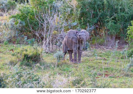 Young Elephant From South Africa