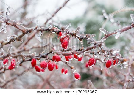 Icing. Red Berries Of Barberry Covered With Ice.