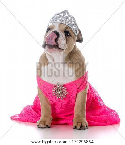 spoiled female dog wearing tiara on white background