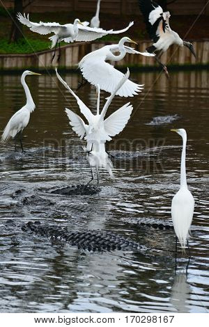 Great blue heron and alligator team up for food hunt in the river
