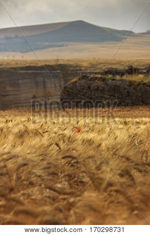 Between Apulia and Basilicata: lone poppy in a golden wheat sea.Italy.Hilly landscape with expanses of cereals fields.