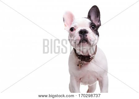standing little french bulldog puppy dog is looking up, isolated on white background with copyspace
