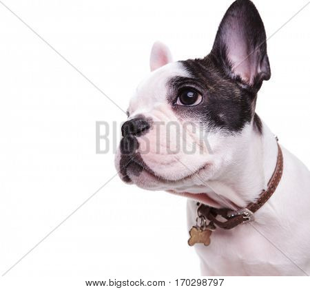 profile picture of a cute french bulldog looking to side, wearing a name tag on collar on white background