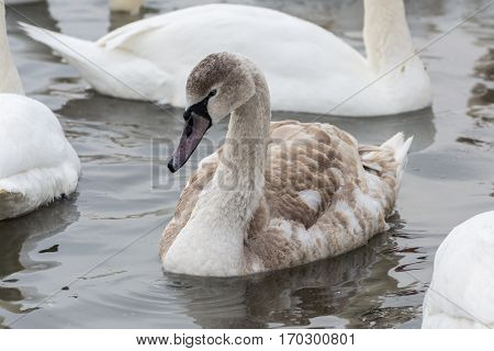 Swans On The Water In Winter. Young Swan Close-up.
