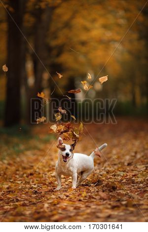 Jack Russell Terrier Dog With Leaves. Gold And Red Color, Walk In The Park