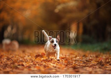 autumn mood. Jack Russell Terrier dog with leaves. gold and red color walk in the park