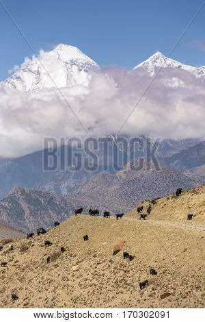 Beautiful mountain landscape with grazing goats on the way from Muktinath to Kagbeni in lower Mustang District, Nepal.