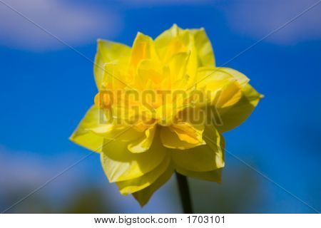 Double Yellow Narcissus