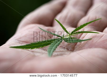 Cannabis leaves on palm of a man