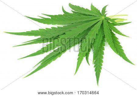 Cannabis sativa or medicinal marijuana leaves over white background