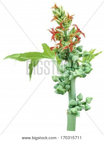 Castor beans and flowers over white background