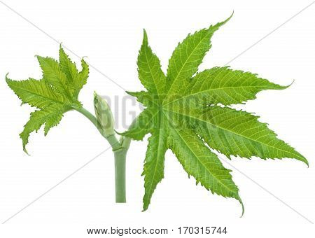 Close up of Green castor leaves over white background