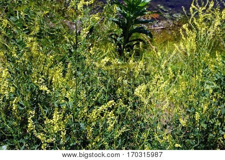 Bittercress flowers (Barbarea vulgaris), also called herb barbara, rocketcress, yellow rocketcress, winter rocket, and wound rocket, bloom next to a small lake in Joliet, Illinois during June.