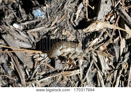 The shed exoskeleton of a cicada insect on the ground in Joliet, Illinois during September.