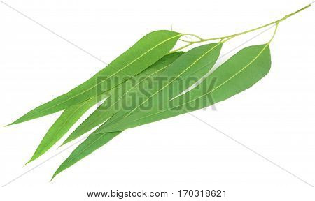 Eucalyptus leaves of medicinal value over white background