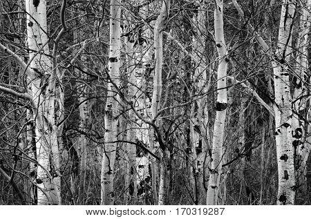 Birch aspen trees in the autumn with bare trunks outdoors