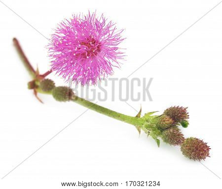 Medicinal Mimosa pudica touch me not flower over white background