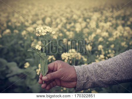 Hand holding mustard flowers outdoor in Bangladesh