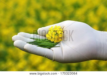 Hand holding mustard flowers and bean outdoor